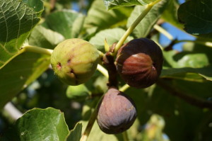 on-site fig tree